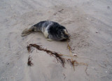Beached seal