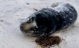 Baby harbor seal ready for his closeup