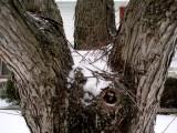 Gnarly winter tree