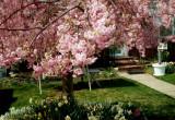 Cherry blossoms in Merrick