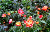 Roses in Tralee