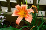 Day lily 2007