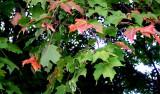 1st blush of Fall