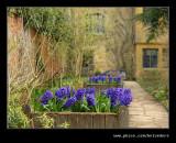 Hyacinths, Hidcote Manor