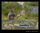 Baboon Beggar