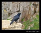 Cape Point Song Bird