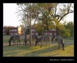 Zambezi Sun Hotel Zebras