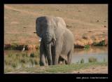 Lone Elephant #1