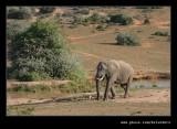 Lone Elephant #2
