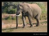 Lone Elephant #3