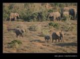 Elephants Heading for Water #1