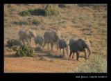 Elephants Heading for Water #3