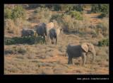 Elephants Heading for Water #4