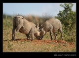 Warthog Disagreement #1