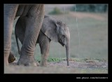 Elephants Drinking at Dusk #02