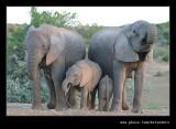 Elephants Drinking at Dusk #03