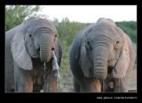 Elephants Drinking at Dusk #04