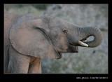 Elephants Drinking at Dusk #06