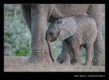 Elephants Drinking at Dusk #08