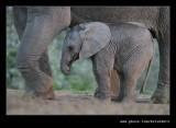 Elephants Drinking at Dusk #09