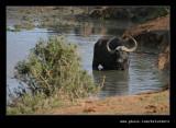 Buffalo Watering Hole #4, Addo