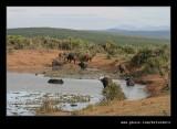 Buffalo Watering Hole #5, Addo