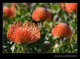 Pin Cushion Protea #1