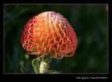 Pin Cushion Protea #2