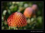 Pin Cushion Protea #3