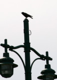 Crow and a Lampost