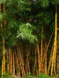 Bamboo Stands Thrive