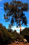 Balboa Park Trees