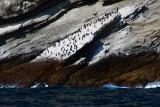 Resting Cormorants at the Coronado Islands