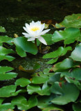White Lilies Too