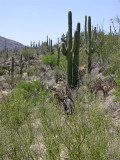 A cactus forest in the Saguaro National Park