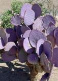 A purple cactus (really)