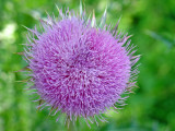 A thistle blooming on the Stones River Greenway