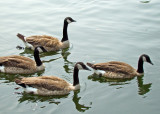 Leading the line at  the Centennial Park pond