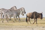 Zebra and Wildebeeste