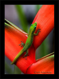 Gecko On Heliconia