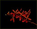 Ren Nancy Chandler  'Red Dragon'