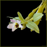 Dendrobium trantuanii