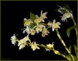 Dendrobium  Spring Dream 'Kumiko'