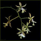 Epidendrum stanfordianum