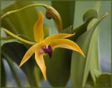 Bulbophyllum Frank Smith 'Maureen's First'