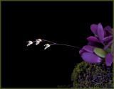 pleurothallis grobyii