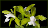 Cattleya leopoldii alba