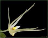 Thrixspermum elongatum
