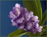 Rhctm.  Lilac Blossom