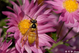 Common Wasp 02